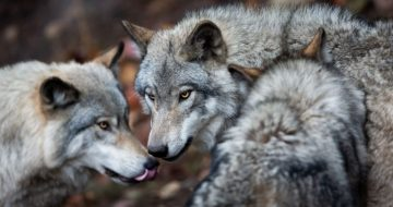 German Bishops Join the Wolves